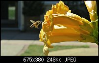 Click image for larger version.  Name:bee-2.jpg Views:107 Size:248.0 KB ID:127714