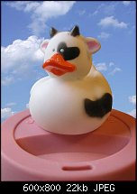 Click image for larger version.  Name:duck-cow.jpg Views:321 Size:22.5 KB ID:108728