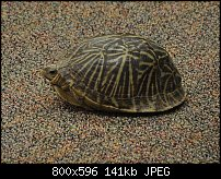 Click image for larger version.  Name:Fl box turtle side2.jpg Views:285 Size:141.1 KB ID:102529